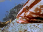 Brown and white striped fish swim near the ocean floor