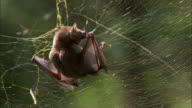 A brown bat struggles in a sticky spider web.