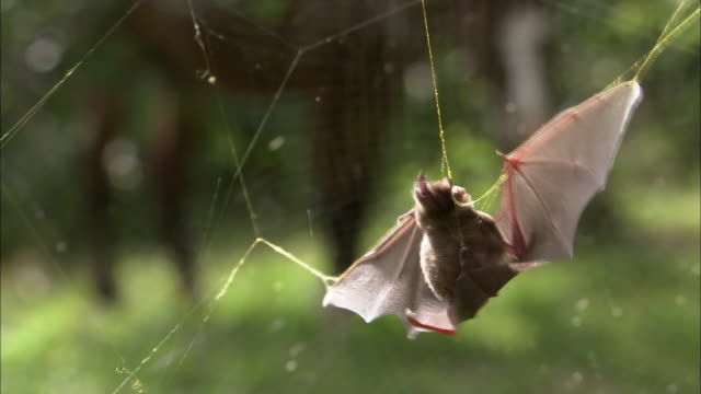 A brown bat struggles to escape a sticky spiderweb.