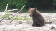 Brown Bear Cub Waiting