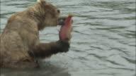 Brown Bear Eating Sockeye Salmon