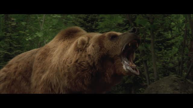 CU, PAN, Brown bear roaring, walking in forest