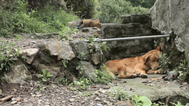 Brown dog sleeps in concrete rubble