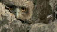 CU Brown fish owl chick (Bubo zeylonensis or Ketupa zeylonensis) on tree / Madhya Pradesh, India
