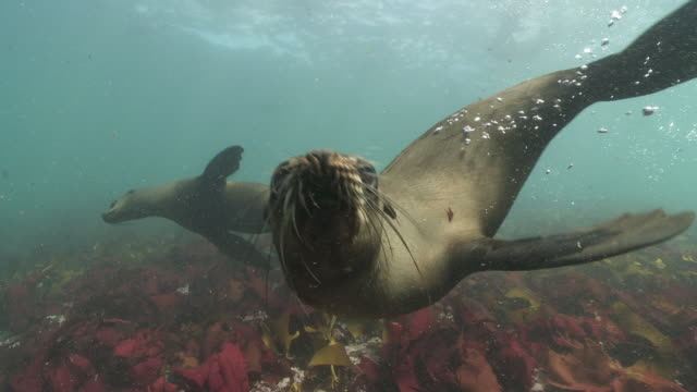 Brown Fur Seal colony playing underwater