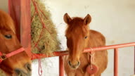 brown horses eating hay in stable