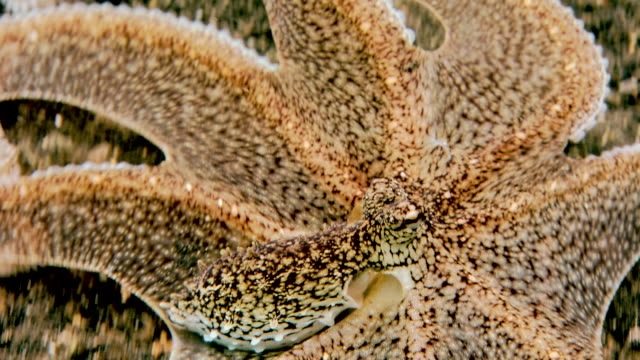 Brown mimic (Octopus sp.), a long-armed octopus. Filmed in the Lembeh Strait, Sulawesi, Indonesia