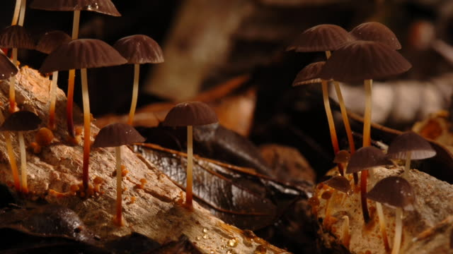 Brown mushrooms sprout from a piece of decaying wood. Available in HD.