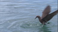 A brown noddy plunges into water. Available in HD.