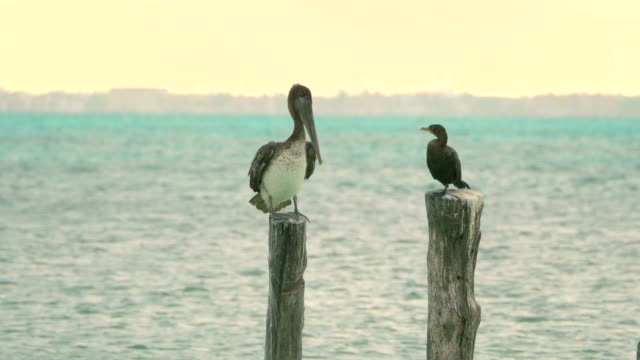 Brown Pelican and Double-Crested Cormorant