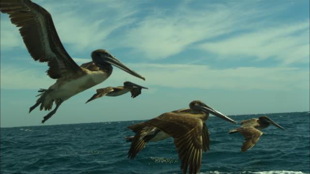 Brown pelicans fly over sea, Baja California, Mexico.