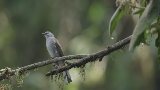 A brown-backed solitaire (Myadestes occidentalis) perches on a branch in the El Triunfo biosphere reserve.