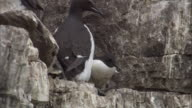 A Brunnich's guillemot and a chick take off from a ledge.