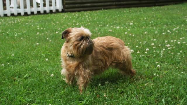MS Brussels griffon in grass, barking / Manchester, Vermont, USA.