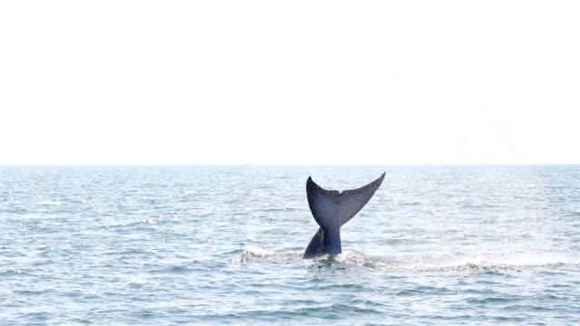 Bryde's Whale Balaenoptera edeni eating