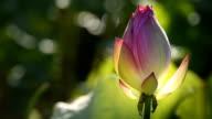 Ontluikende lotusbloem in de vijver HD Video