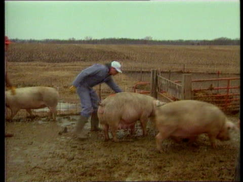 EC Budget EXT USA Iowa MS SIDE three farm workers driving pigs Iowa into pens CS Pig by wire fence TX Craig Hill by tall metal ITN feed trough PULL...