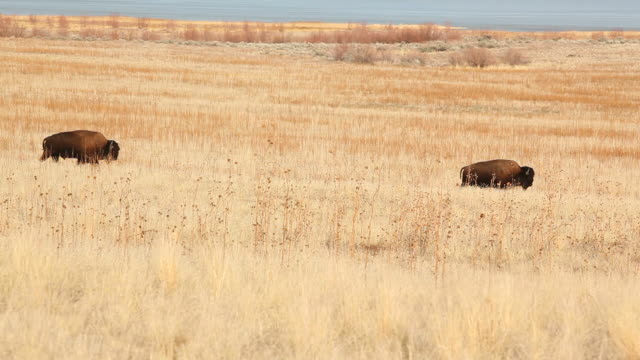 Buffalo Grazing and Walking
