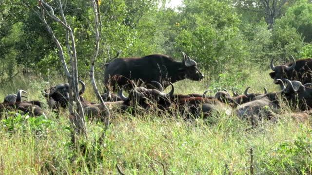 Buffalo Herd in Kruger Wildlife Reserve