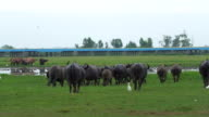 buffalo herd running on Thale Noi waterfowl reserve