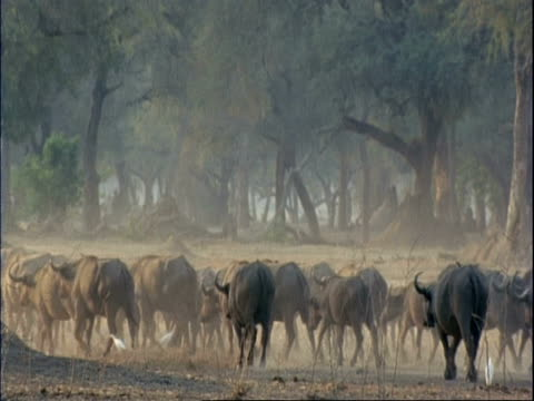 Buffalo (Cyncerus caffer) MS herd walk away from camera, dust and white birds, trees in background, Mana Pools, Zimbabwe