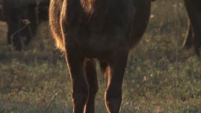 A buffalo looks straight ahead near its herd.