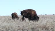 Buffalo on tall grass prairie