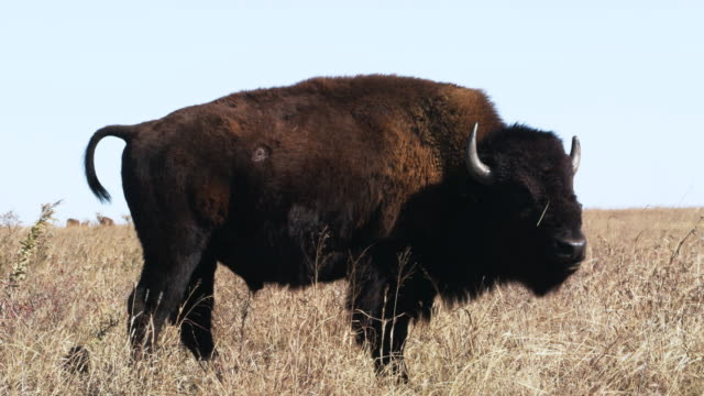 Buffalo on tall grass prairie