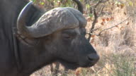CU, PAN, MS, Buffalo (Synerus caffer) walking through savannah, Kruger National Park, South Africa