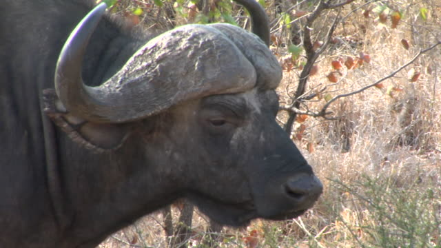 CU, PAN, MS, Buffalo (Synerus caffer) walking through savannah, Kruger National Park, South Africa