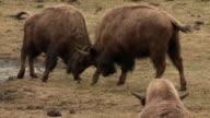 Buffaloes fighting in field