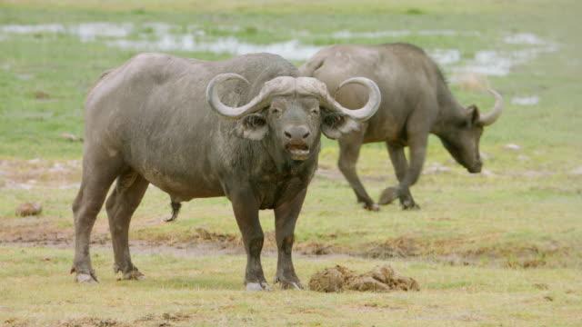 MS Buffaloes standing on savanna landscape / Kenya