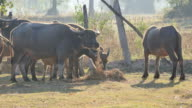 Buffalos eating grass in the morning.