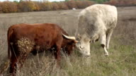 bull butting with the ox