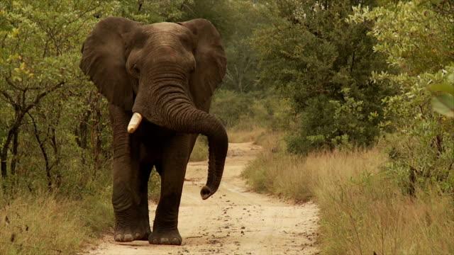 Bull elefante
