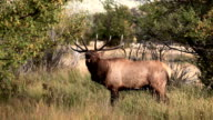 Bull Elk Bugling with Audio