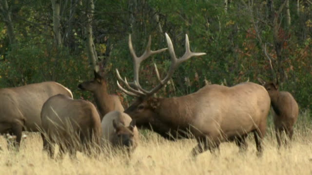 MS PAN Bull elk (Cervus canadensis) rounding up females in rutting season in field, Waterton Lakes National Park, Alberta, Canada