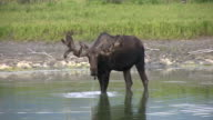 Bull Moose Walking and Drinking in Alaska Lake