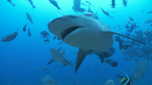 Bull sharks feeding with schools of fish