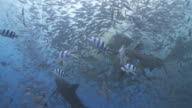 Bull sharks in chum feeding frenzy