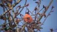 Bullfinch Feeding on Willow Tree