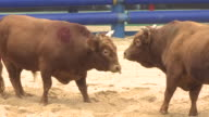 MS TS Bulls fighting on Sand / Cheongdo, Gyeongsangbukdo, South Korea
