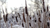 Bulrushes after an ice storm
