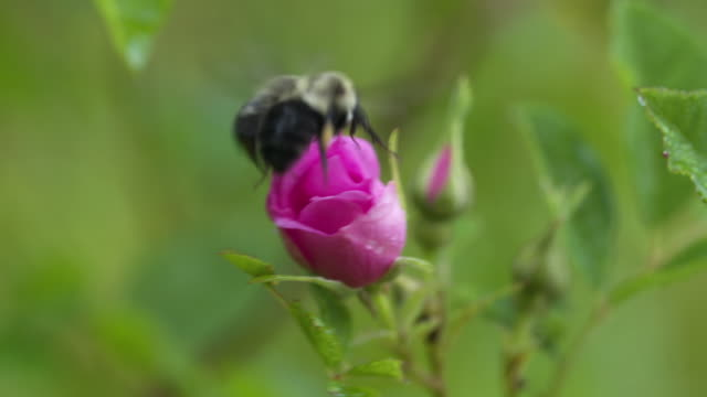 Bumble bee encounters on pink swamp rose, replaced twice in rapid succession