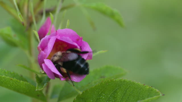 Bumble bee foraging in Swamp rose, high speed close up