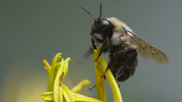 Bumble Bee on flower pedal tips, flies off and falls