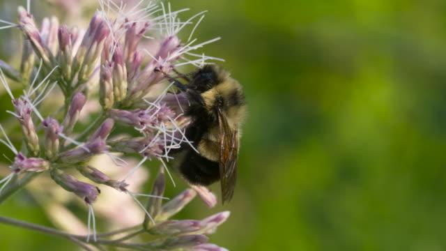 Bumble Bee Sleeps on Purple Plants