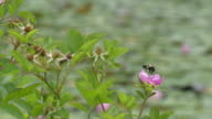 Bumble bee takeoff from swamp roses