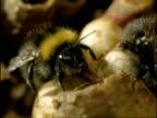 CU Bumble Bee (Bombus pratorum), worker bee drinks from wax cup, England