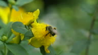 Bumble bee's high speed take off from yellow flower